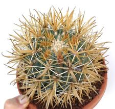 GROSSO Ferocactus chrysacanthus YELLOW SPINES KF1 no crested variegated