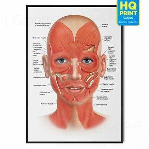 Human Anatomy Facial Nerves Veins Educational Poster *Laminated Option*