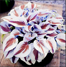 200 PCS Seeds Hosta Perennials Bonsai Plants Lily Flowers White Lace Garden Home