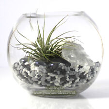 Air plant Kit in glass Terrarium With black and white theme | kit1