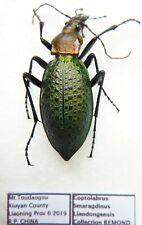 Carabus coptolabrus smaragdinus liaodongensis (female A1) from CHINA