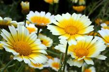 300 Graines Chrysanthème  Chrysanthemum Coronarium Garland ChopSuey Greens seeds
