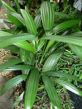 "Rhapis excelsa ""Lady Palm' Tropical landscaping palm Excellent in containers"