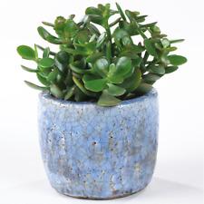 Crassula Ovata - Premium Indoor 'Money Tree' Office Desk Houseplant In 12cm Pot