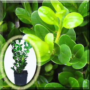 "6 Boxwood - Winter Gem Boxwood Microphylla v. J. 2.5"" Pot Live 6"" Plant"