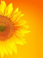 ART PRINT POSTER PHOTO MACRO SUNFLOWER PETALS PICTURE LFMP1170