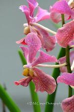 Vanda Orchid Bloom - Port-of-Spain - Trinidad, West Indies.