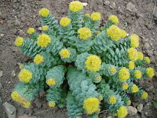 8 graines de RACINE D'OR ANTI FATIGUE (Rhodiola Rosea)H315 GOLDEN ROOT SEEDS