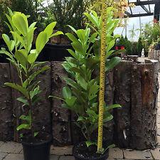 Cherry Laurel Hedging Plants x 40 - Prunus laurocerasus. H:45CM. FREE DELIVERY!