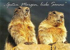 B98728 murmeltiere in der morgensonne  marmotte marmot germany  animaux animals
