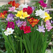 CH 100PCS Freesia Bulbs Old Fashion Perfume Flower Seeds Garden Plant Perennial