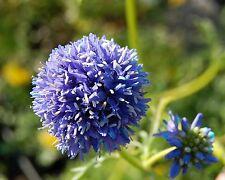 Blaues Sperrkraut • Gilia capitata • 300+ Samen/seeds • Blumenwiese•Globe Gilia