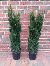 1 Säulen Eibe, Höhe: 120-130 cm, Taxus baccata Fastigiata, Säuleneibe