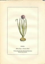 Stampa antica PIANTE DELLA BIBBIA CIPOLLA Allium cepa 1842 Old antique print