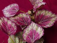 """Begonia Pflanze Frieden 4"""" Pot Rex"""