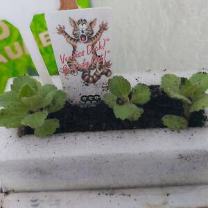 "Coleus Caninus  "" Verpiss-Dich-Pflanze ""   3 Stecklinge leicht bewurzelt"