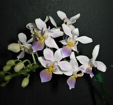Phalaenopsis equestris v. coerulea 'Wilson' Orchid Plant in spike