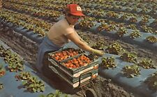 FL 1960's Florida Winter Strawberry Capital Lady Picker at Plant City, FLA