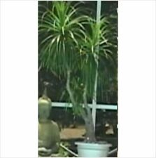 5 Beaucarnea recurvata Ponytail palm seeds