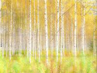 PHOTO NATURE TREES FOREST WOODS SILVER BIRCH WOODLAND ART PRINT POSTER MP3993B