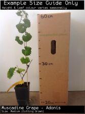 Muscadine Grape - Adonis (Vitus rotundifolia) Fruit Tree Plant