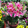 Pink Lily Flower Seeds Plants Potted Bonsai Flores Home Indoor 100pcs/bag