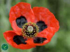 30 seeds of Lady Bird Poppy - PAPAVER - Plus GIFT 5 seeds of Sunflower