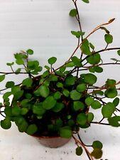 Muehlenbackia Complexa Live Tropical Vivarium Terrarium House Plant