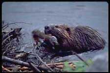 485050 Beaver Repairing Its Dam In Ontario Canada A4 Photo Print