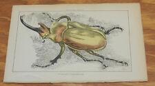 1869 Antique COLOR Print/ELEPHANT BEETLE/Hand-Colored