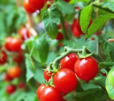 Cherry Tomato Seeds Heirloom Gmo Free 250+ Seeds 85% Germination Free Shipping