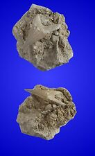Fossil Haizahn Otodus obliquus in Matrix, ca. 60 Mio. Jahre - Marokko
