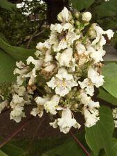Catalpa ovata - Yellow Catalpa - 20 Fresh Seeds