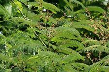 Acacia pennata CHA-OM Edible Levaes - Seeds!