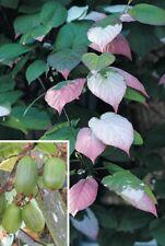 Actinidia Kolomikta - Variegated Arctic Kiwi Vine - Rare Plant Seeds (10)