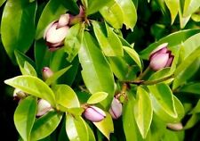 5 Port Wine Magnolia plants flowering tree garden plant shrub