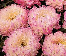 Aster Paeony Duchess Apricot Callistephus Chinensis - 20 Seeds