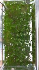 """Najas guadalupensis Live guppy grass/ protect the young (14 stems 7 """"-10"""")"""
