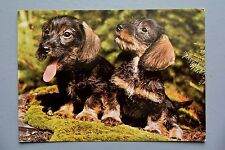 R&L Postcard: 1980's Wire Haired Dachshund Dogs Puppies
