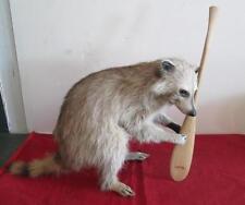 Beautiful Raccoon Taxidermy Mount w/ Paddle Canoe Oddball Oddity Brown Life Size