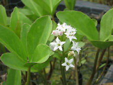 Wasseranemone Anemopsis californica Eidechsenschwanz Teichpflanze Sumpfpflanze