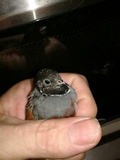 6 Button Quail Hatching Eggs Assorted Colors Some Rare NPIP