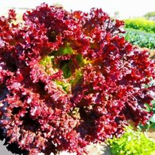 Seeds Сhampion of Salad Lettuce Lolo Rossa Red Vegetable Organic Russian Ukraine