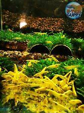 10 +1 Neon Yellow - Freshwater Neocaridina Aquarium Shrimp. Live Guarantee