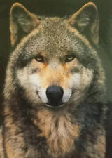 AUTHENTIC Western WILDLIFE Photograph ~ GREY WOLF 20x16 SIGNED ART