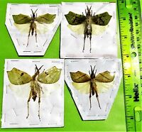 One Malaysian Leaf Mimic Grasshopper Orthoptera sp Spread FAST FROM USA