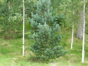 Pinus sylvestris / Scots Pine Large Garden tree grown peat free 3L plant 4ft