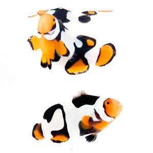 Sustainable Aquatics Onyx Picasso Percula Designer Clownfish Bonded Pair WYSIWYG