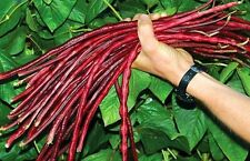 80 Yard-Long Bean Chinese Red Noodle Pole Bean/Seeds  Heirloom Easy to grow