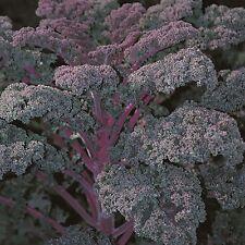 Kings Seeds-berza común-rojo ruso - 150 semillas